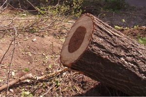 بريدن درختان كهنسال در سنندج
