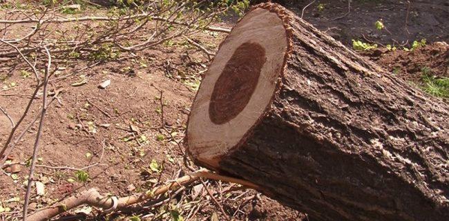 سريال بريدن درختان كهنسال در سنندج ادامه دارد/ دستگاه های نظارتی بیخيال تاراج سرمايه های عمومی